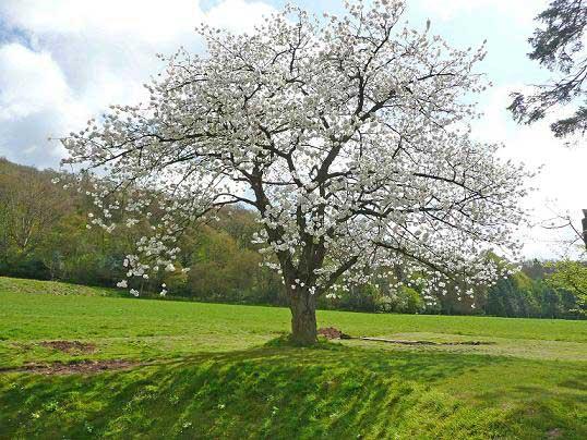Jenifer higgins counselling - Romanian cherry tree varieties ...